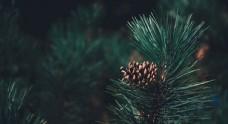 松树松果针叶植物图片