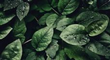 树叶深绿背景素材图片