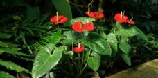 鲜红的红掌鲜花摄影美图图片
