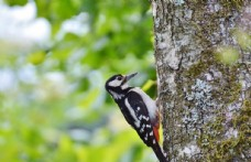 大斑啄木鸟图片