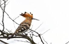 布谷鸟摄影图片