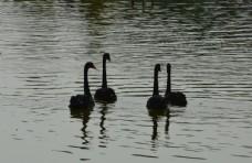 戏水黑天鹅图片