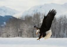 凶猛的白头鹰图片