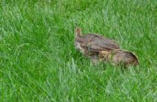 孔雀雏鸟图片
