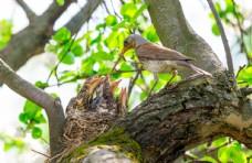 哺食中的幼鸟图片