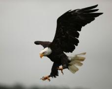 白头鹰摄影图片