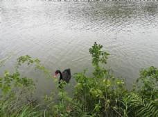 湖面的黑天鹅图片