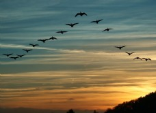 天空中飞翔的大雁图片
