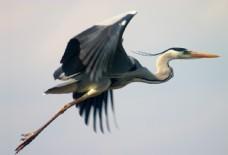 飞翔的大鸟图片