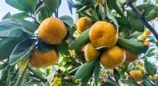 三明蜜桔圖片