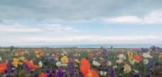 青海湖花海图片