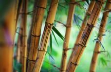 枯竹竹林自然景观背景素材图片