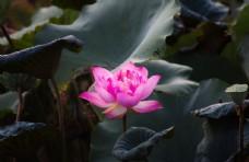 盛开的莲花图片