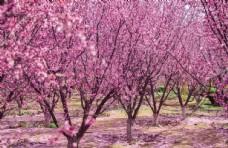 春天户外树林粉色海棠花开放公园图片