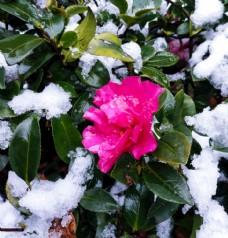 傲雪开放的山茶花图片