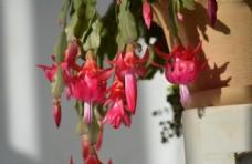 盛开的蟹爪兰盆景图片