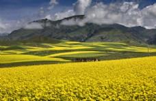 盛开的油菜花图片