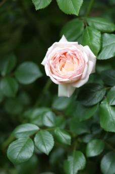 一朵盛开的粉玫瑰图片
