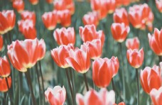 盛开的郁金香图片
