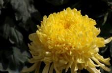 盛开的秋菊图片