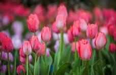 花园里盛开的郁金香图片