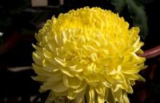 盛开的菊花图片