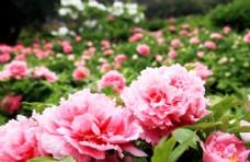 洛阳牡丹花海素材植物摄影图图片