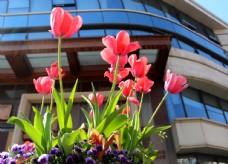 楼外花园里盛开的郁金香图片