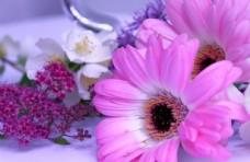 漂亮的非洲菊图片