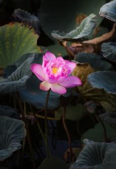 荷叶上盛开的莲花图片