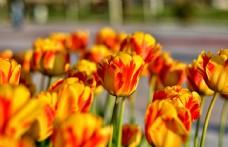 郁金香花图片