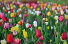 娇艳美丽的郁金香鲜花图片