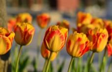 郁金香种植郁金香栽培白郁金图片