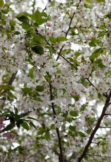 枝头上盛开的茉莉花图片