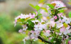 户外盛开的海棠花图片