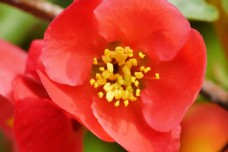 盛开的海棠花大图图片