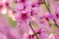 春天户外粉红海棠花盛开摄影图图片