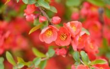 盛开的海棠花图片