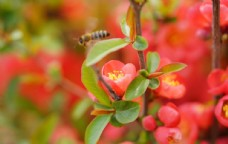 盛开的海棠花特写图片