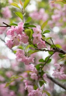 枝头上盛开的粉色海棠花图片