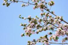 蓝天下盛开的海棠花图片