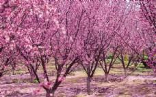公园里盛开的大片海棠花图片