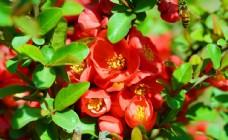 阳光下的盛开的海棠花图片