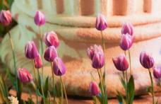 郁金香素材图片