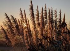 芦苇苇芦芦芛蒹葭植物图片