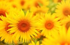 向日葵鲜花图片