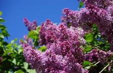 美丽的紫丁香鲜花图片