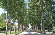 园林落叶乔木白杨树图片