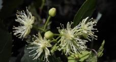 椴树花图片