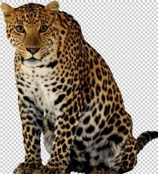 金钱豹图片